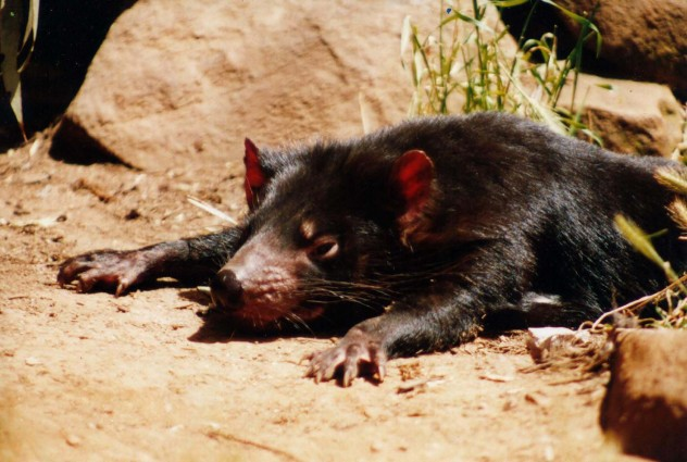 Tasmanian Devil Pictures (Dan Fellow)