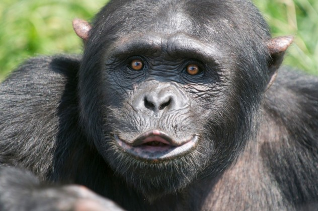 chimpanzee_kiss