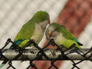 parrots-07-2008