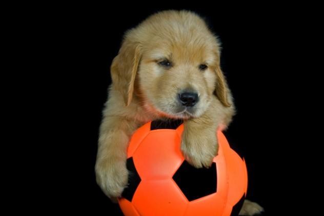 Football dog