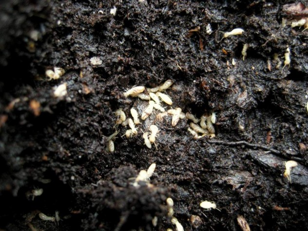 Soil-Dwelling Insects