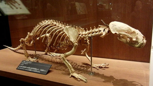 2_Japanese_River_Otter_Skelton