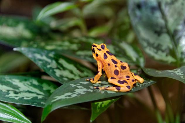 4- golden frog