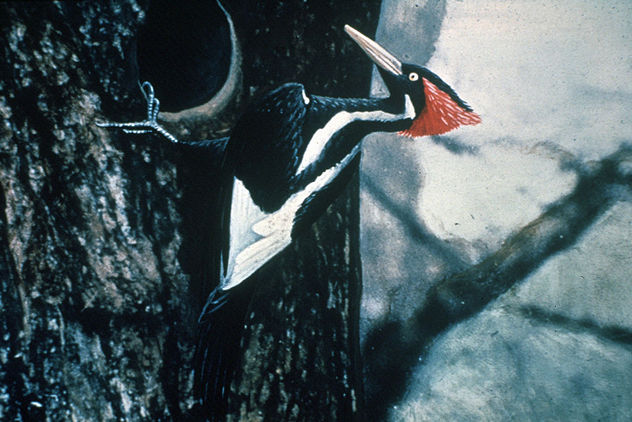 4_1024px-Ivory-billed_Woodpecker_by_Jerry_A._Payne