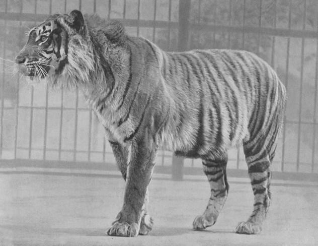 7_Java_Tiger