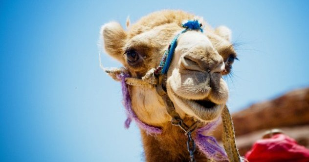 10 Crazy Facts About Camels - Listverse