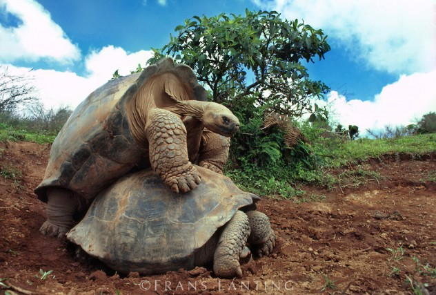 Giant tortoises mating