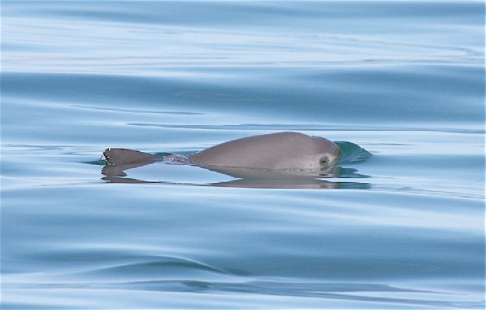 22553_vaquita-phocoena-sinus-in-the-gulf-of-california-mexico