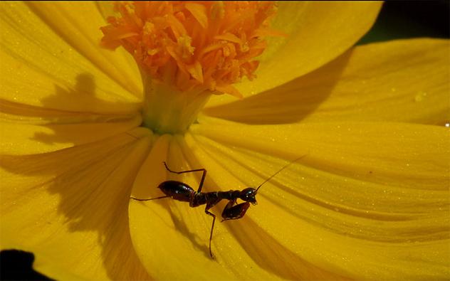 3- mantis