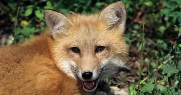 10 Fantastic Facts About Foxes Listverse