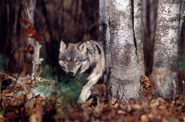 3- wolf pack