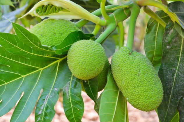 5- breadfruit