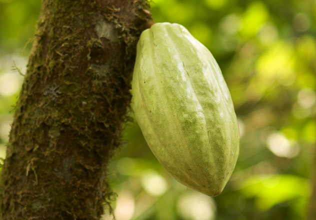 Chocolate Pod On Tree