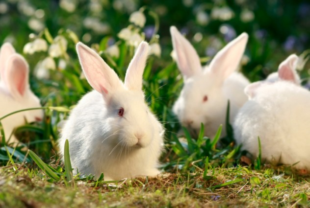 flock rabbits