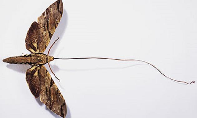 xanthopan-morganii-praedicta-madagascan-sphinx-moth-_105466_1
