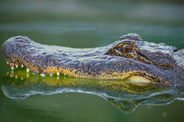 4- alligator