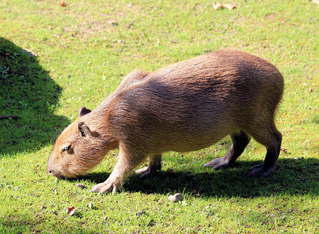 10 terrifyingly huge rodents - listverse
