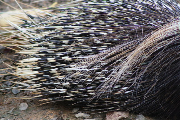 800px-South_African_Cape_Porcupine,_Hystrix_africaeaustralis;_porcupine_quills_close_up