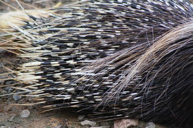 800px-South_African_Cape_Porcupine,_Hystrix_africaeaustralis;_porcupine_quills_close_up