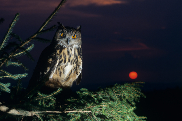 9- owl