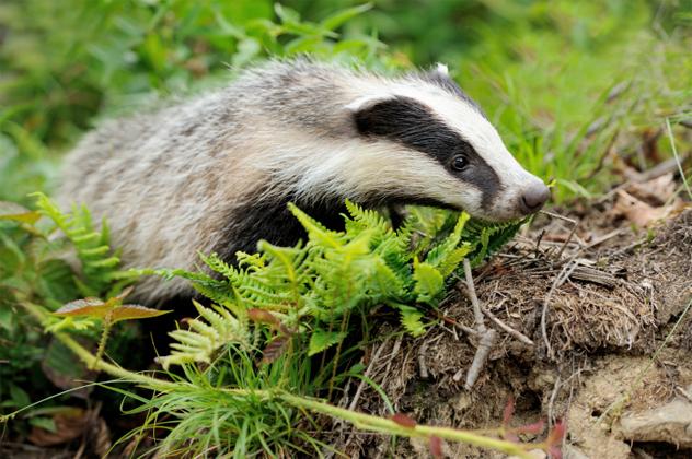 2- badger