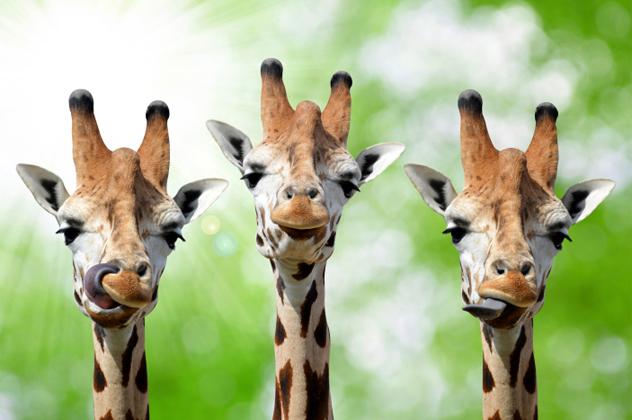 5- giraffe