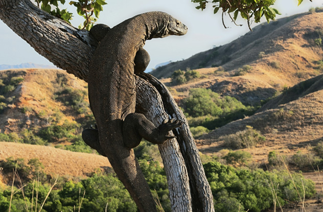 10 weird facts about the deadly komodo dragon listverse - Images de dragons ...