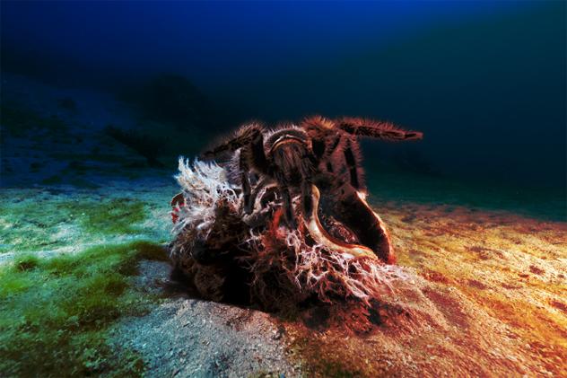 6- spider clam
