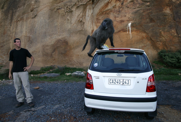 Rogue Baboons Become Menace In South Africa