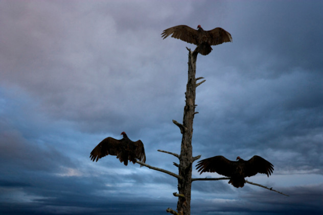 6 Vultures