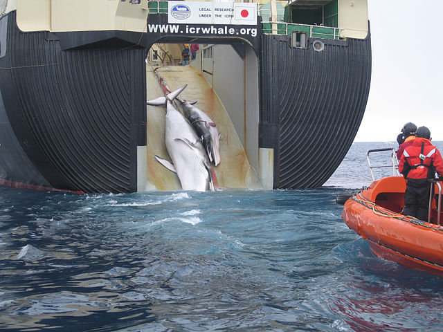 640px-Japan_Factory_Ship_Nisshin_Maru_Whaling_Mother_and_Calf