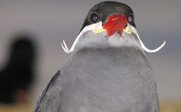 birdstache