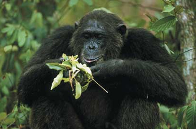 Travis the celebrity chimp