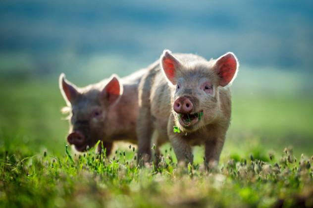 6 Pigs
