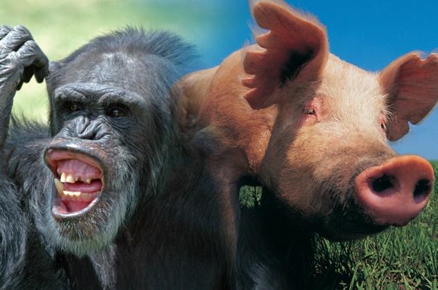 8-pig