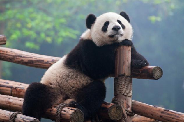 professional panda