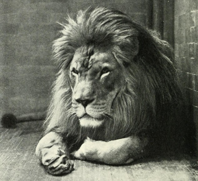 4 barbary lion