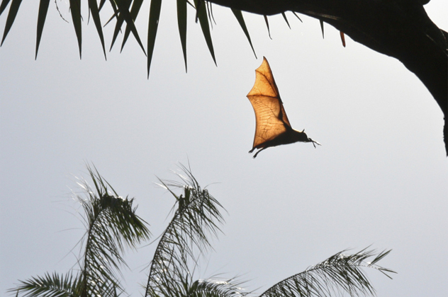 5- flying fox