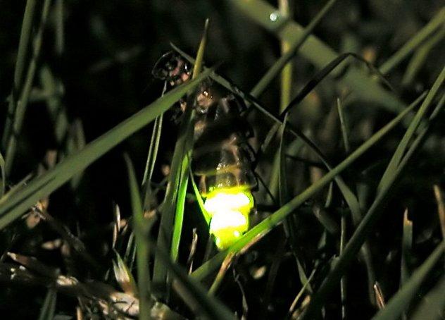 6_Glow_worm