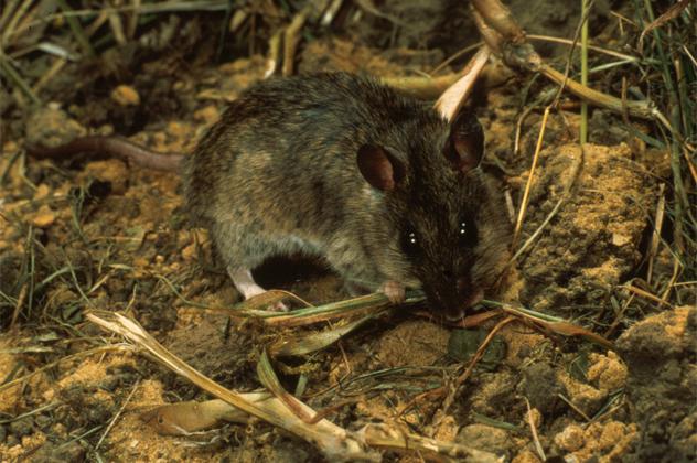 9- rat