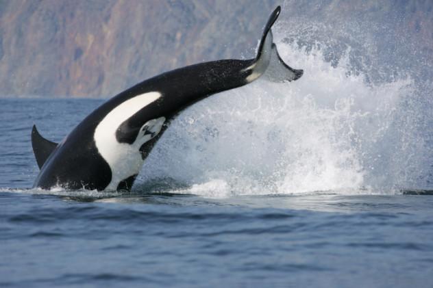 1 orca
