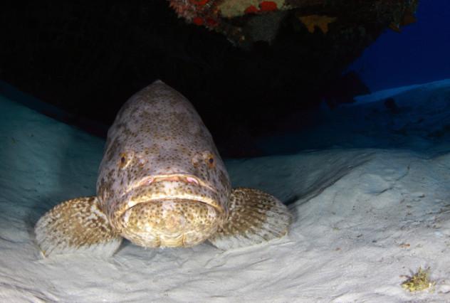 3 grouper