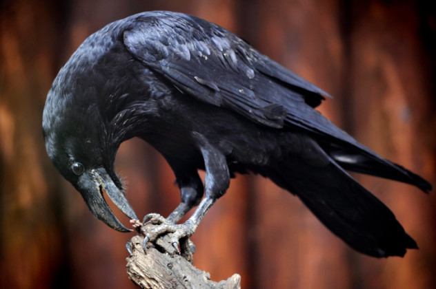 4 raven