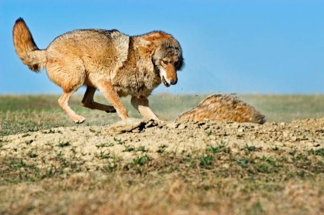 7 Coyote
