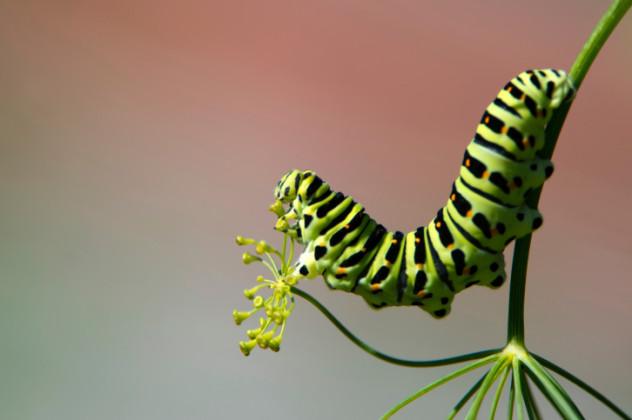 cannibal caterpillar