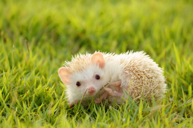 cannibal hedgehog
