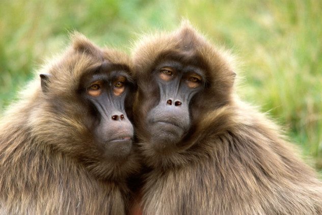 mysterious apathetic baboons