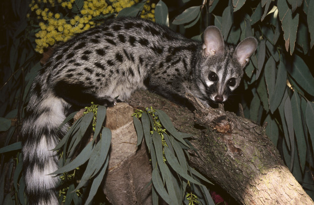 mysterious genet
