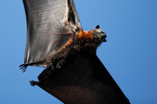 flying fox wings