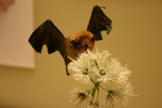 pallass long tongued bat